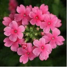 Вербена крупноцветковая Нежно-розовая