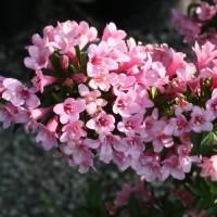Вейгела цветущая Пинк Поппет
