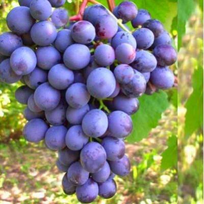 Виноград плодовый Агат донской купить.