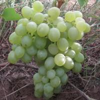 Виноград плодовый Белое Чудо