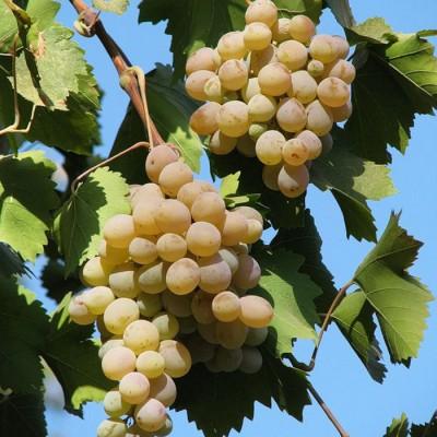 Виноград плодовый Бианка купить.