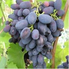 Виноград плодовый Кодрянка