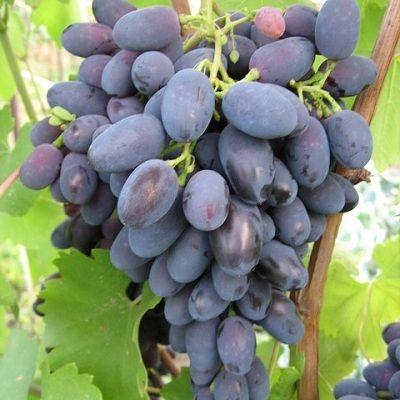 Виноград плодовый Кодрянка купить.