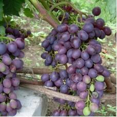 Виноград плодовый Краса Никополя