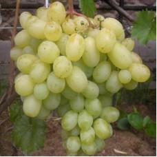 Виноград плодовый Лора