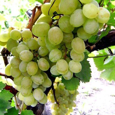 Виноград плодовый Русский янтарь купить.