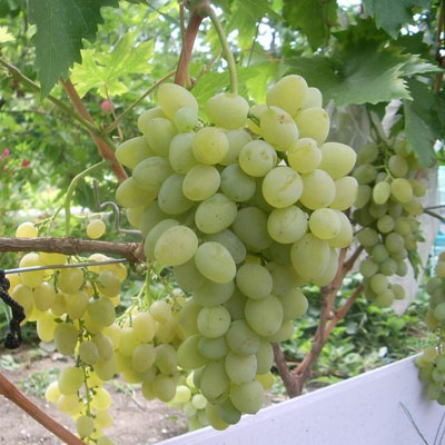 Виноград плодовый Восторг купить.