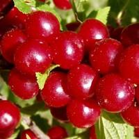 Вишня войлочная Осенняя Вировская