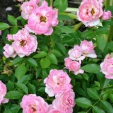 Роза миниатюрная Пинк Джувель