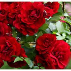 Роза плетистая Амадеус