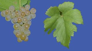 Виноград Кристалл, винный неукрывной сорт