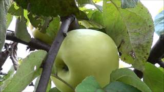 Antonovka Jabłoń antonówka Apple التفاح شجرة appelboom manzano melo