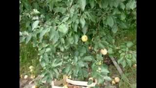 Яблоня сорт Юбиляр
