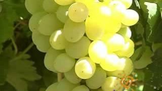 Виноград: Восторг