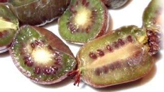 Как выглядит Актинидия пурпурная (лат. Actinidia purpurea)