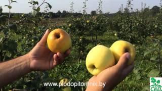 Яблоня сорт Антоновка (4 вида)