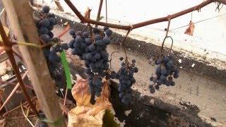Виноград Агат Донской