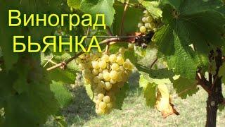 Обзор сорта винограда Бьянка.