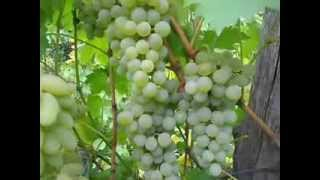 Сорт винограда Бианка.