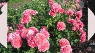 Плетистая роза Розариум Ютерзен от тм Дивосад