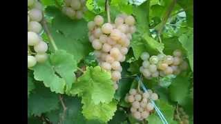 Сорт винограда Платовский.