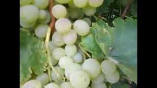 Сорт винограда Восторг.