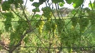 Сорт винограда Августин