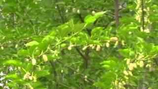 белая шелковица white mulberry
