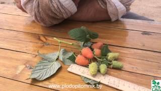 Малина сорт Оранжевое чудо