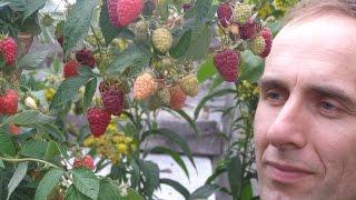 """Высокоурожайные сорта ремонтантной малины """"Пингвин"""" и """"Бриллиантовая"""""""