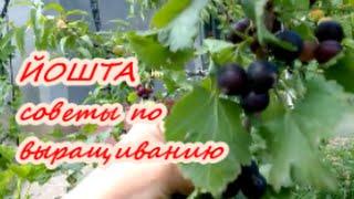 ЙОШТА весной| Советы по выращиванию йошты| Органическое земледелие