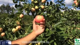 Яблоня сорт Юбиляр.