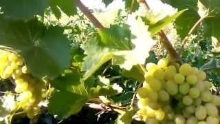 сорт виноград для начинающих августин его вырастит каждый
