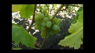 Сорт винограда Восторг идеальный
