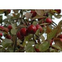Яблоня ягодная Стрит Парад
