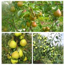 Дерево-сад (2-3х, 3-4х летка) груша 2 сорта Чижовская - Августовская роса