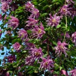 Клематис ботанический
