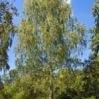 Саженцы лиственных