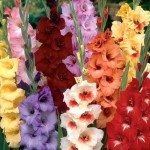 Гладиолус крупноцветковый