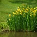 Ирис болотный