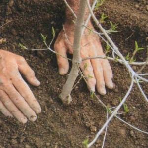 Как сохранить зимой не посаженные саженцы плодовых деревьев