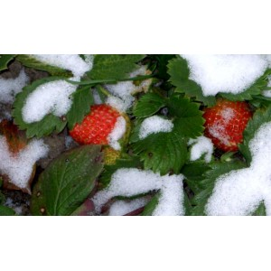Некоторые аспекты подготовки молодых кустов земляники к зиме