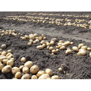 Посадка картофеля при минимальных затратах