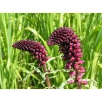 Вербейник темно-пурпурный Божоле