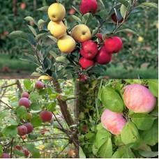 Дерево-сад (2-3 летка) яблоня 2 сорта  Орловим - Красное раннее