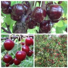 Дерево-сад (2-3х, 3-4х летка) вишня 2 сорта Владимирская - Любская