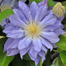 Клематис крупноцветковый Азур Болл