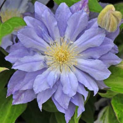 Купить саженцы Клематис крупноцветковый Азур Болл
