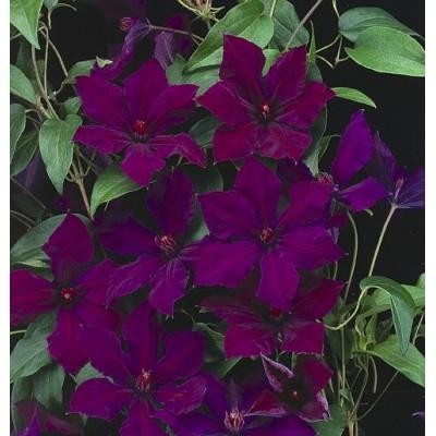Купить саженцы Клематис крупноцветковый Хонора