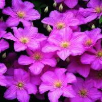 Клематис крупноцветковый Комтис де Бушо